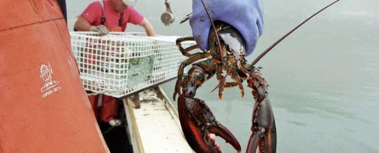 Researchers Discontinue Annual Lobster Forecasts