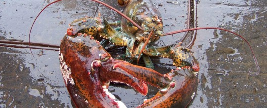 Declining lobster population prompts new fishing rules